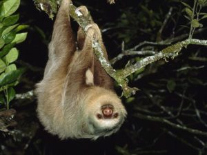 two-toed-sloth